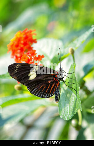 Doris Longwing - Laparus doris, beautiful colorful butterfly from New World. - Stock Photo