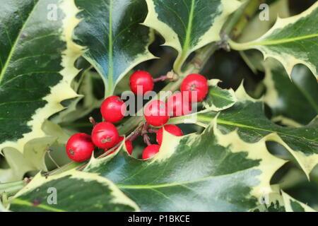 Ilex aquilfolium 'Argentea Marginata'. Silver margined holly displaying winter berries, UK. AGM - Stock Photo