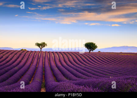Lavender fields in the early morning Valensole Plateau Forcalquier Alpes-de-Haute-Provence Provence-Alpes-Cote d'Azur France - Stock Photo