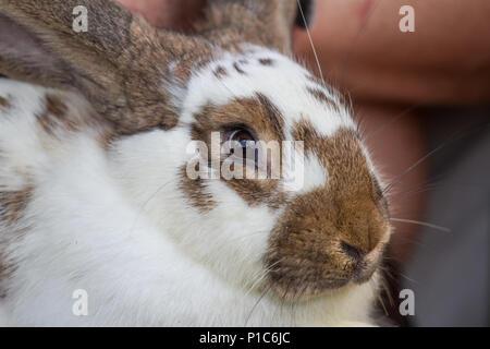 Domestic rabbit (Oryctolagus cuniculus forma domestica) - Stock Photo