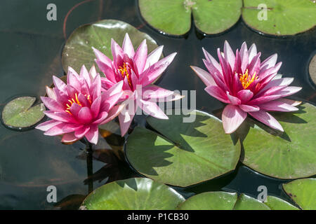 A pink Hardy Water Lily flowers in water, garden pond - Stock Photo