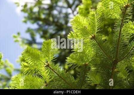 Douglas Fir (Pseudotsuga menziesii): new growth on a mature Douglas fir, or Oregon Pine tree - Stock Photo
