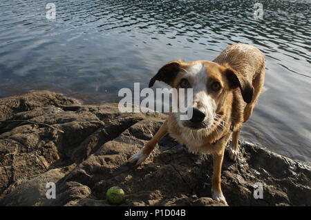 A playful pup about to chase after a tennis ball thrown in the water. - Stock Photo
