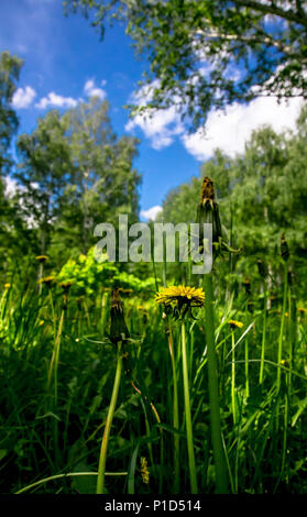 Blooming dandelions in a clearing in a summer birch grove on a sunny afternoon under a blue sky with cumulus clouds - Stock Photo