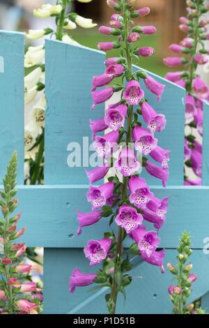 Digitalis purpurea 'Dalmatian Purple'. Foxglove 'Dalmatian Purple' on a display at a flower show. UK - Stock Photo