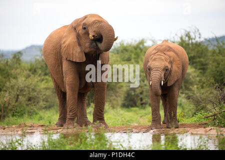 Elephant mother and youngster drinking at a waterhole on cloudy Autumn day in the savannah facing camera in Madikwe Game Reserve, South Africa - Stock Photo