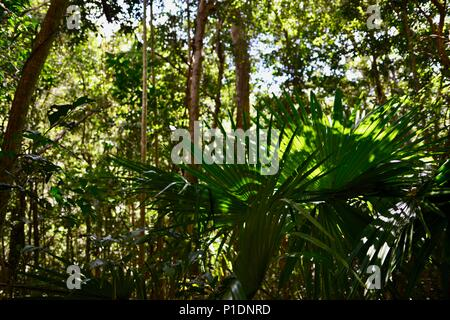 Palms trees and dappled light in a rainforest, Paluma Range National Park, Rollingstone QLD, Australia - Stock Photo