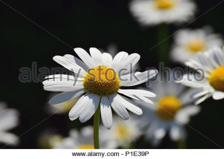 Chamomiles small white flowers with a yellow middle grow in a group beverages chamomiles flowers field daisies with white leaves and a yellow middle on a black background mightylinksfo