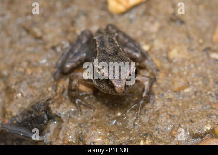 Young froglet (Rana temporaria) - Stock Photo