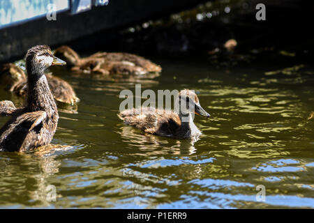 A small duck swimming in a herd on the river. - Stock Photo