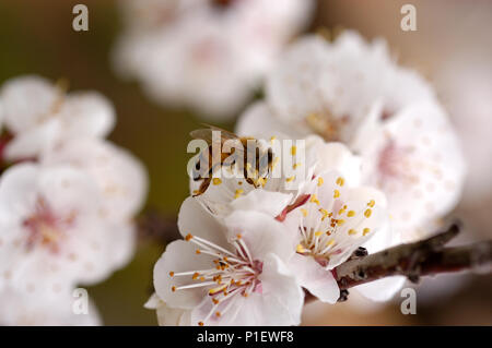 Honey Bee collecting nectare from Apricot Blossom. - Stock Photo