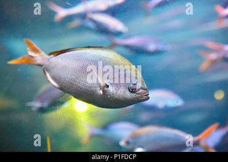 Shoal of tropical marine fish Yellowback fusilier or Caesio xanthonota in natural ecosystem. - Stock Photo