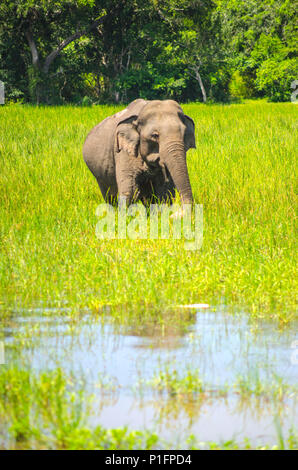 An elephant, Yala National Park, Sri Lanka - Stock Photo
