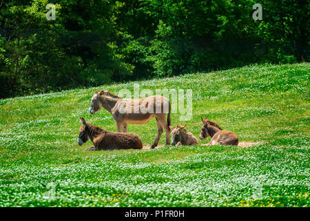 Horizontal shot of a beautiful donkey family resting in a green field. - Stock Photo