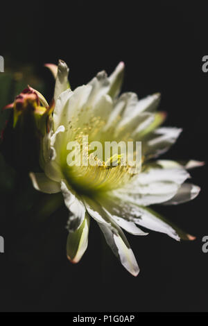 isolated white cactus flower blooming at night - Stock Photo