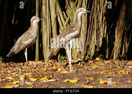 Pair of Bush stone curlews () beside tree in Fogarty Park, Cairns, Queensland, Australia - Stock Photo