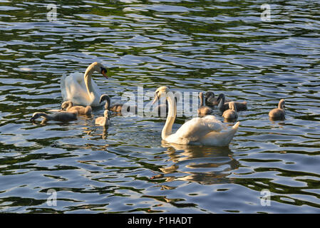 Swans and their young cygnets on  the river near Goring Lock on the River Thames - Stock Photo