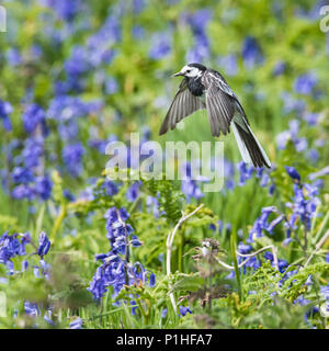 Pied Wagtail (Motacilla alba yarrellii), Feeding on Insects Above Wild Flowers - Stock Photo