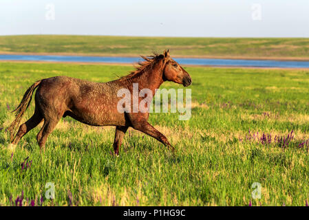 Wild horse runs in the sunlit meadow - Stock Photo