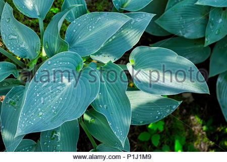 Hosta — AKA plantain lily, giboshi or Funkien — in spring morning sun before flowers form - Stock Photo