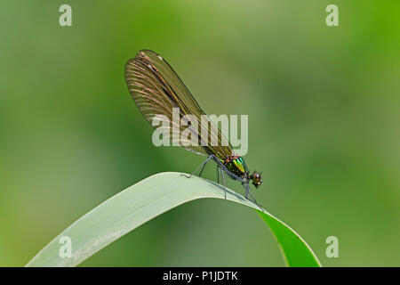 Female Beautiful Demoiselle in the Forest of Dean - Stock Photo