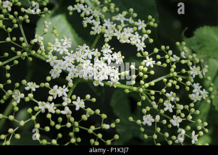 Geometric patterns in nature. The beautiful white flowers and buds of an Elderberry plant (Sambucus). - Stock Photo