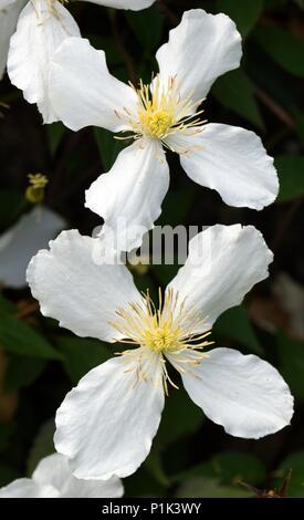 Two flowers of Clematis Montana Grandiflora White Anemone - Stock Photo