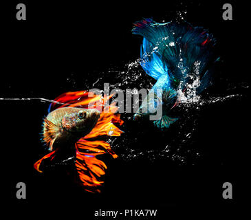 Two betta fish fighting in an aquarium - Stock Photo