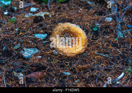POISONOUS MUSHROOM. Poisonous mushroom with brightly red color cap and white spots flake grows among pine trees in a forest.