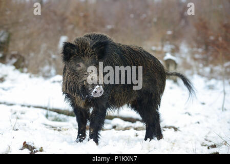 Wild boar male in the forest, winter,  (sus scrofa) - Stock Photo