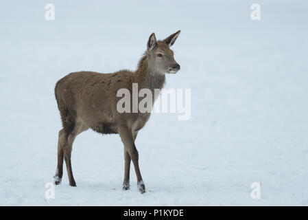 Red deer female in the winter,  (cervus elaphus) - Stock Photo