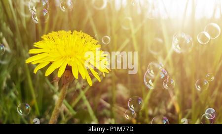 Yellow flower, dandelion, and dreen grass in sunlight. Soap bubbles floating in the air. Blurred natural abstract background. - Stock Photo