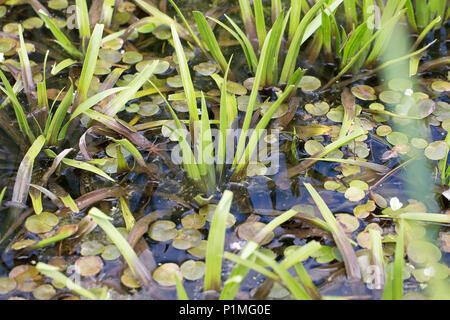 Fen Raft Spider (Dolomedes plantarius) - Stock Photo
