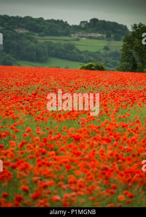 Poppies grow in a field near Box, Wiltshire 05/06/18 - Stock Photo