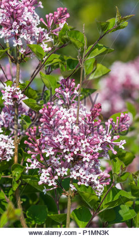 Purple Common Lilac (Syringa vulgaris) in late Spring in the UK. - Stock Photo