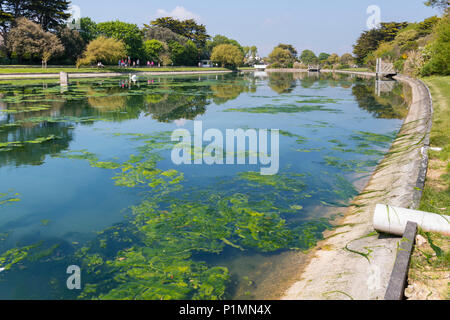 Green algae in a lake after warm weather in late Spring in Mewsbrook Park, Littlehampton, West Sussex, England, UK. - Stock Photo