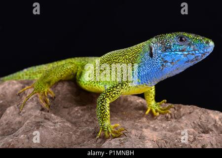 The European green lizard, Lacerta viridis, is a large (up to 40cm) lizard species. Males exhibit spectacular breeding colors. - Stock Photo