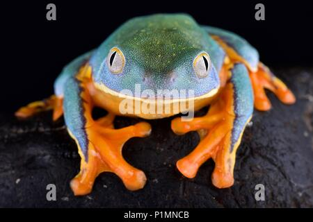 The Splendid leaf frog, Cruziohyla calcarifer, is a cryptic and beautiful tree frog species found from Central into South America. Stock Photo