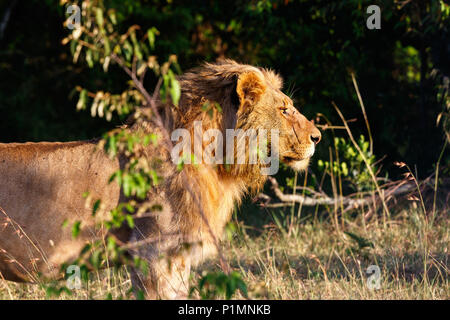 Male Lion standing and looking for something to chase - Stock Photo