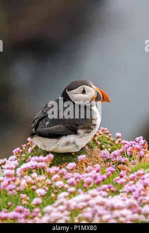 Atlantic puffin / common puffin (Fratercula arctica) in breeding plumage on cliff top in seabird colony, Sumburgh Head, Shetland Islands, Scotland, UK - Stock Photo