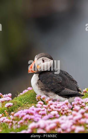 Atlantic puffin / common puffin (Fratercula arctica) in breeding plumage among sea thrift flowers on cliff top in seabird colony - Stock Photo