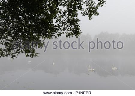 Near Tregaron, Ceredigion, Wales, UK 13th June 2018 UK Weather: Swans gliding across a lake near Tregaron as the day starts with mist. Credit: Ian Jones/Alamy Live News - Stock Photo