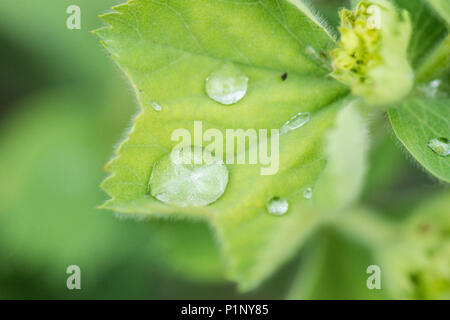 Water droplets on the leaf of a garden lady's-mantle (Alchemilla mollis) - Stock Photo