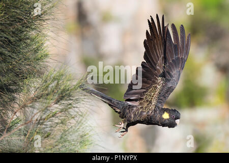 A Yellow-tailed Black Cockatoo takes flight off a high cliff in Adelaide, South Australia's popular Morialta Conservation Park. - Stock Photo