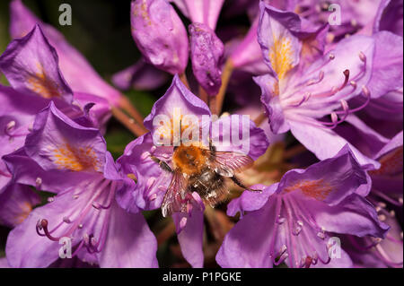 A feeding frenzy feeding on wild Rhododendron flowers has left bumblebees coated in pollen all over adhering to fine hairs on body Bombus pascuorum - Stock Photo