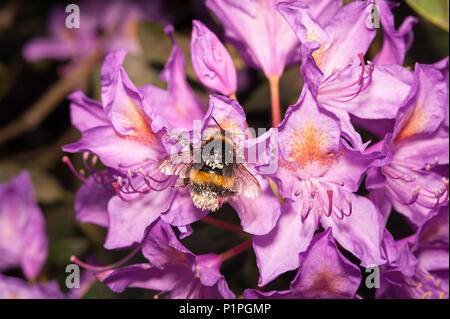 A feeding frenzy feeding on wild Rhododendron flowers has left bumblebees coated in pollen all over adhering to fine hairs on body Bombus hortorum - Stock Photo