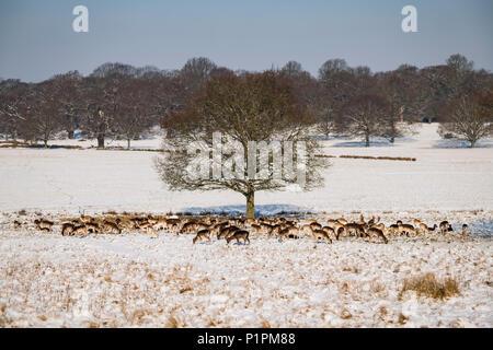 Red deer (Cervus elaphus) and Fallow deer(dama dama) grazing under tree in snow; London, England - Stock Photo