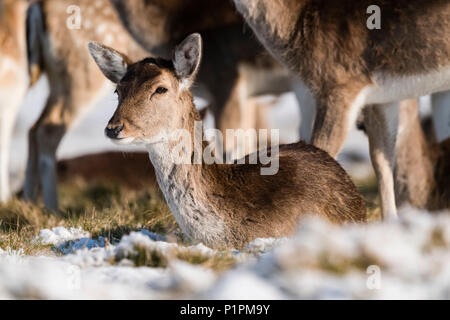 Red deer (Cervus elaphus) fawn lies in snowy grass; London, England - Stock Photo
