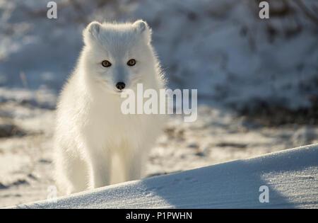 Arctic fox (Vulpes lagopus) in the snow; Churchill, Manitoba, Canada - Stock Photo