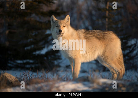 Northwestern wolf (Canis lupus occidentalis) in the setting sun; Churchill, Manitoba, Canada - Stock Photo